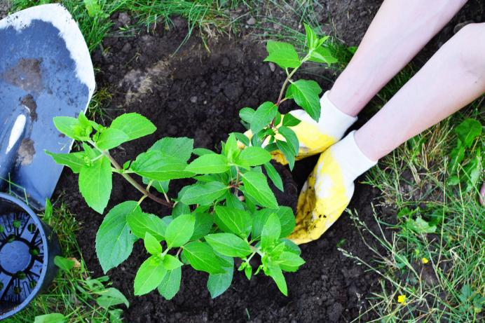 A green shurb is planted into the ground by a person wearing yellow gloves